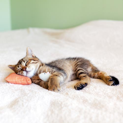 sleeping cat with toy