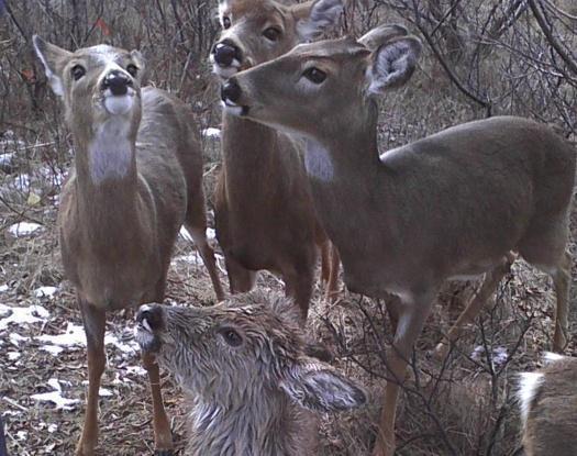 rescued deer faun